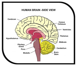 Human Brain Diagram - Side View with Parts ( Cerebrum, Hypothala